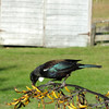 Tui in Tophouse garden