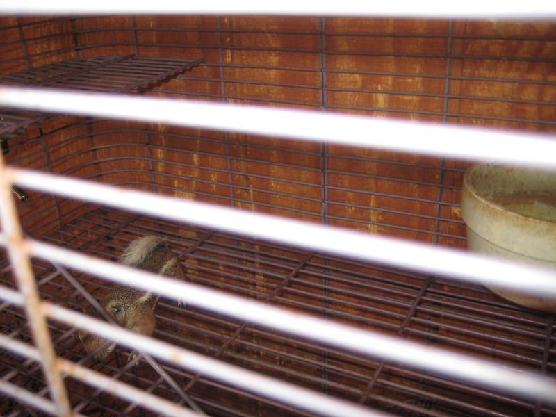 Imprisoned rock squirrels.
