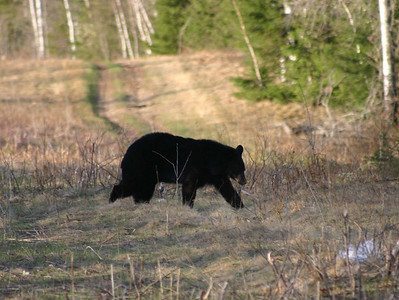 This bear was near the A/AA loop.