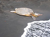 "Turtle on Black Sand Beach Ride Report here <a href=""http://www.advrider.com/forums/showthread.php?t=217718&pp=15"">http://www.advrider.com/forums/showthread.php?t=217718&pp=15</a>"