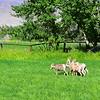 Bighorn sheep.  Challis, ID