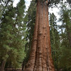 "General Sherman Tree: <a href=""http://en.wikipedia.org/wiki/General_Sherman_"">http://en.wikipedia.org/wiki/General_Sherman_</a>(tree)"