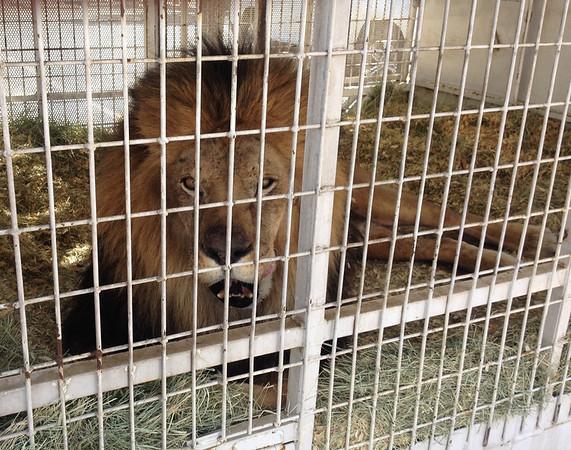 Lion at HD