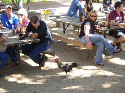The crazy rooster in Luckenbach, Texas!