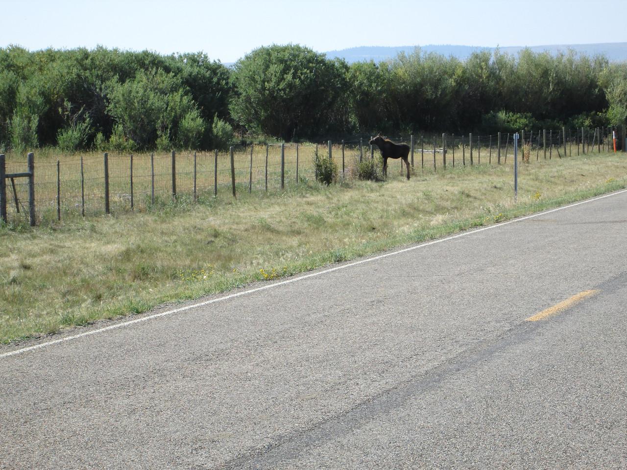 20130815 Moose Calf along MT324