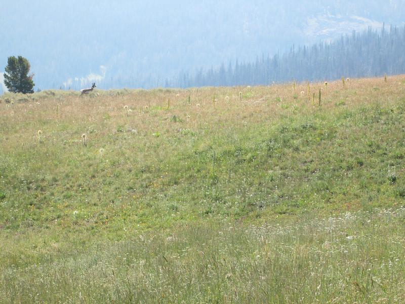 20130814 Pronghorn Just S of Black Butte