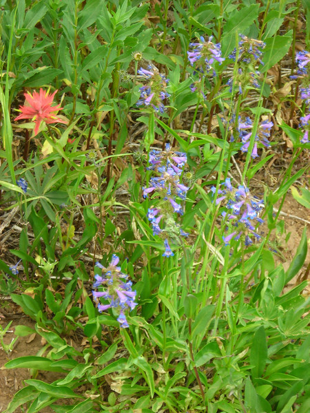 Paintbrush and Harebells