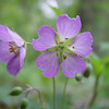 These Wild Geraniums were prevalent on Jim and Ruth's wooded estate.