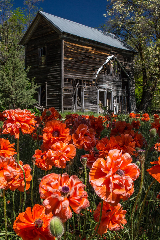 Decorative Oriental poppies and somebody's opium patch? Or maybe the ghost of an old Chinese miner still haunts the place.