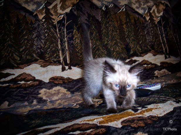 Here is Silver at 8 weeks of age.  He stalked his way into our hearts....
