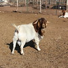 Goat balls