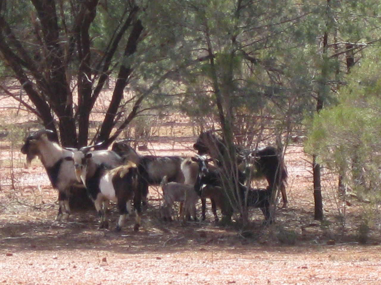 Plenty of feral goats out here.which used to be a real pest. Now however the Station owners round them up and sell them to a crowd who export them live to the Middle East. Good tucker.
