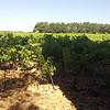 Chateau De Bosc vineyard