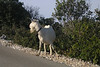 June 13, 2007 - on the island of Lošinj, Croatia<br /> <br /> A local goat looking both ways before crossing the road.