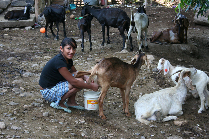 Milking a goat in Reforma