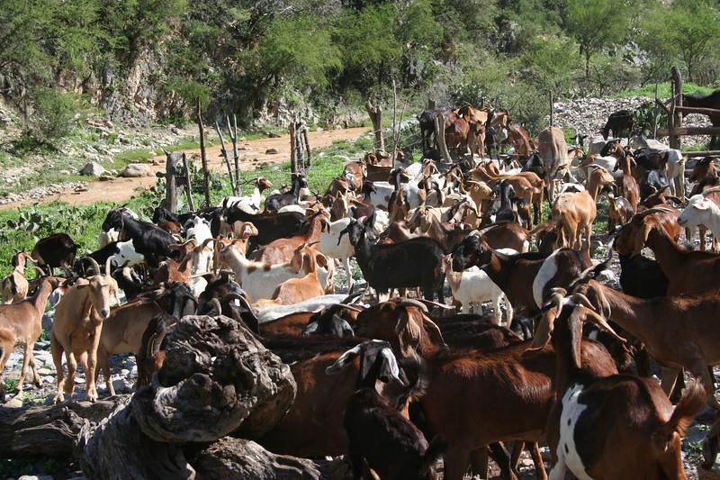 Eulogico's goats