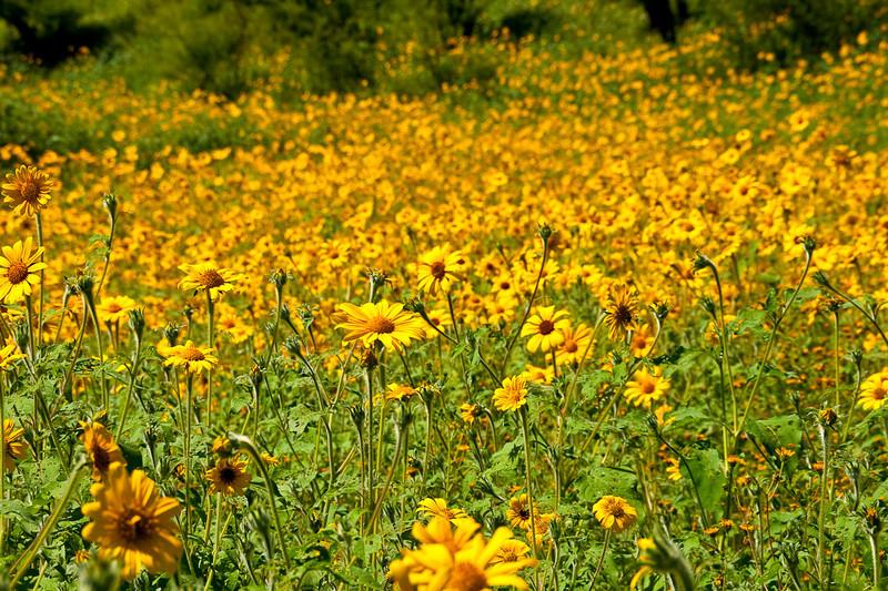 Thru a field of sunflowers