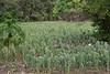 Napoles (yummy edible cacti)