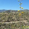 Jerry is coming up the distant switchback while agave blooms yellow.