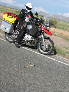 Rattler in the road to Anrtelope Wells