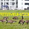 Geese_NHDROaug14_7388