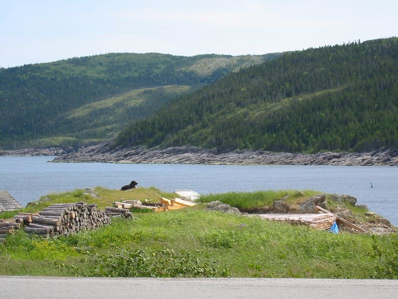 A Newfoundland overlooks the harbor.