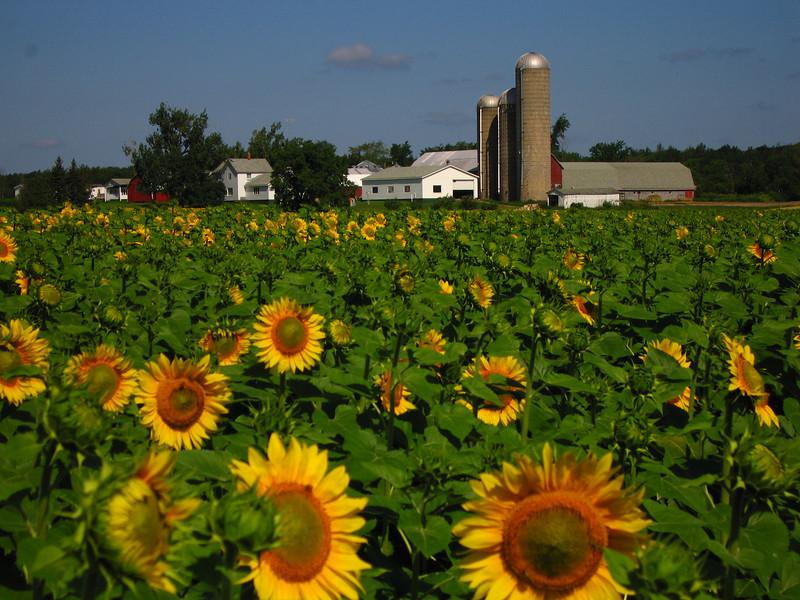 Sunflowers near Nielsville