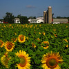 Sunflowers near Nielsville