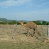 Camel!?