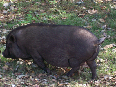 Pot Belly Pig at Oark or how I felt after lunch
