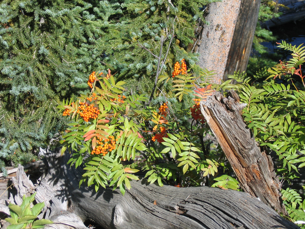 As we were hiking on the trail, these orange berries catch my eye.  The color of the berries, along with the arrangement of deadfall make an intereseting composition.