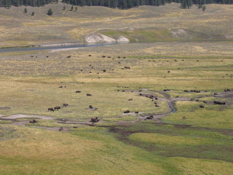 Bison were plentiful in Yellowstone.  We came across three large herds.  It must have been amazing to see millions of these animals roaming the plains in the early 1800's.