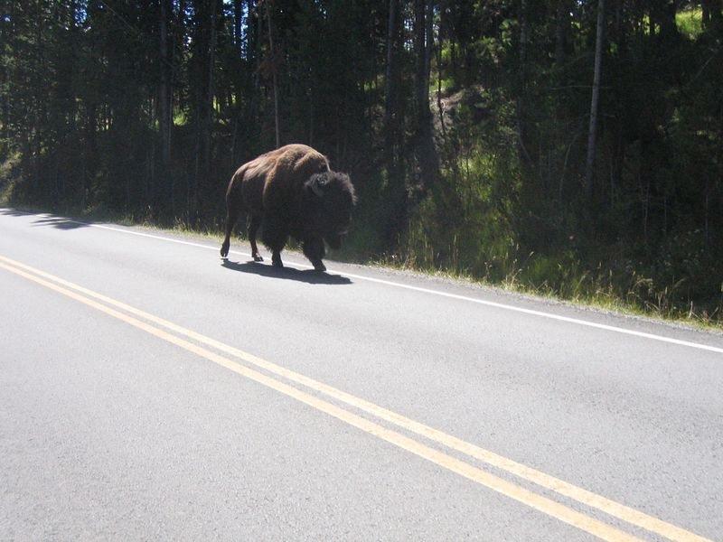 There were many Bison in the park, including this feller who was ambling down the road.  I've heard of motorcyclist being attacked in the Black Hills by Bison, usually with bad results for the rider, including death!