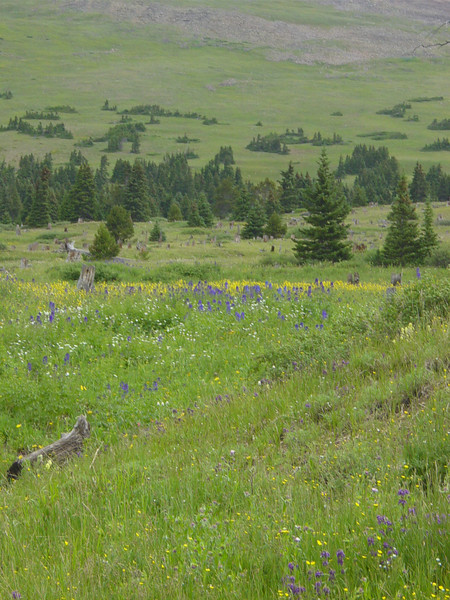 Wildflowers on top of Boreas Pass