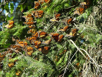 Monarchs at rest getting warmed up from the sunlight.  They can`t fly until they get warmed up from the chilly night.