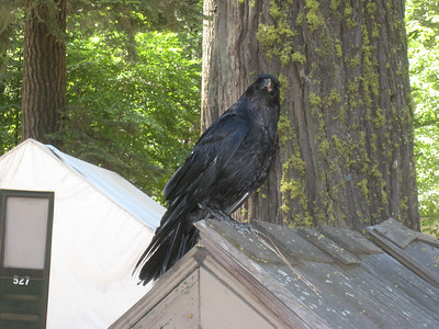 Along the way, we see some of the park's wildlife.  These noisy ravens were everywhere.
