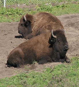 These two Bison are part of a small herd that reside in Golden Gate Park. They really seemed to be enjoying catching some rays.