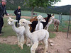 This is just a small part of the flock of almost 200 alpacas.