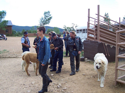 Caroline and the group enter the alpaca pen. The big white dog is Taz. He's one of nine Great Pyrenees responsible for protecting the flock from coyotes.