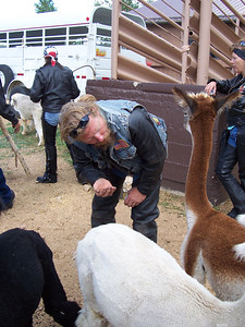 Dan, the Santa Fe chapter president, gets personal with the alpacas.