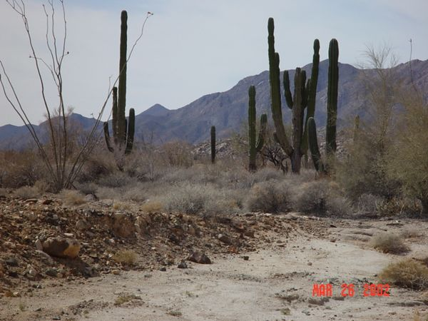 Big Cactus plants