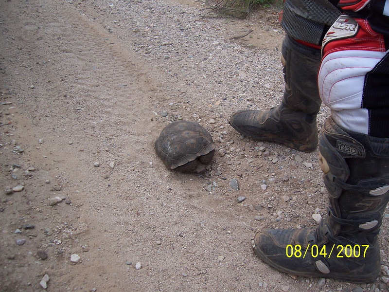 We hadn't gone very much further when I came around a bend and saw Craig looking at a dark lump on the ground. I thought he had lost his tail bag. It was actually a Desert Tortoise in the middle of the trail.
