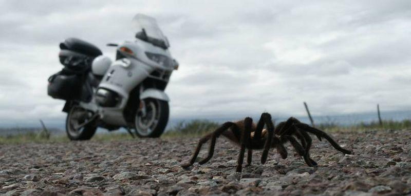 Tarantula<br /> Big Bend NP, TX<br /> 2003