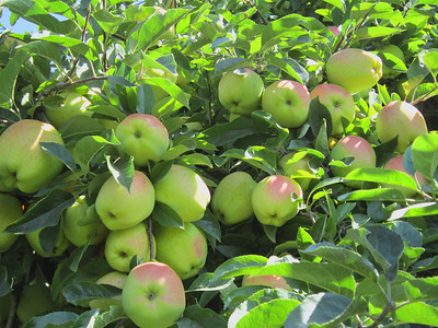And yet more beautiful apples.