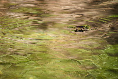 An artsy-shot break.  Water-strider on Brandy Creek, which flows into Whiskeytown Lake.
