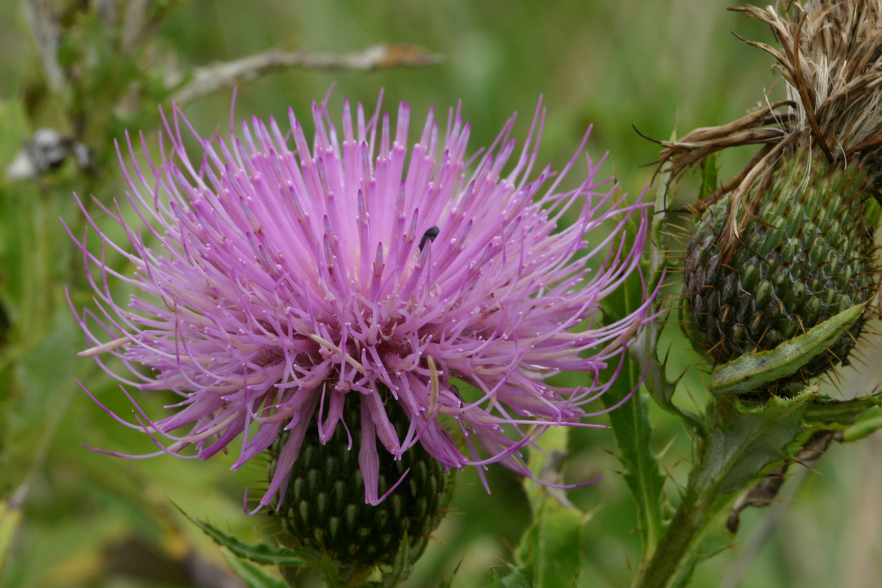 The beauty of thistle, a menace in the pasture.