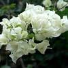 Flores hermosas de Ancash.