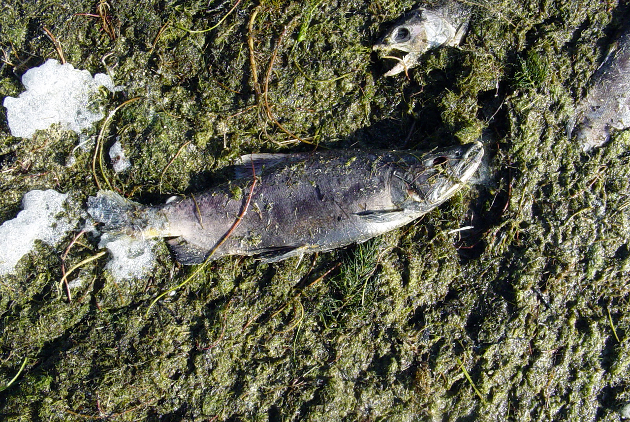 So we're standing on the shore of a lake with no inlet and no outlet.  Why are there dead fish everwhere that for the life of me look like Sockey Salmon?  Later on (sorry, no photos) we found the water teaming with clasic color and shape (red back and hooked jaw) Sockey Salmon.  How the heck did they get here and why so many dead ones lying on the shore?