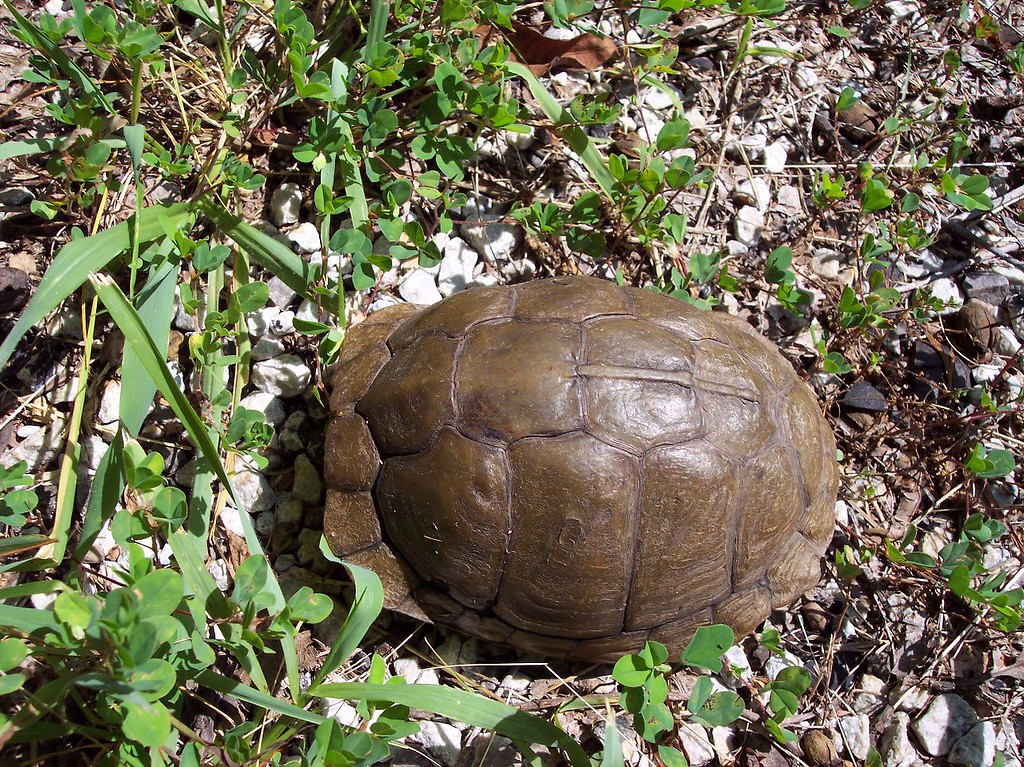 This is a turtle....yes there is a pissed off turtle in there.  He was in the run me over position in the middle of the sunny high way so i moved him to the side....where he probably just turned around and went back.