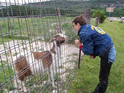 Goats at Mini Stonehenge.